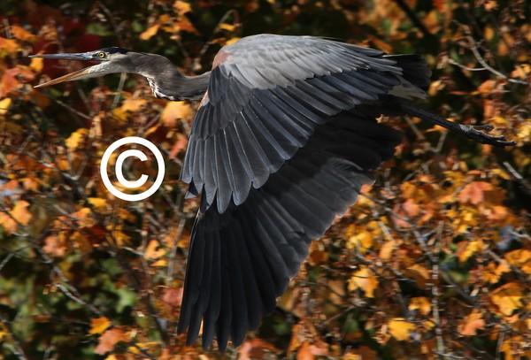 Great Blue Heron in Flight!