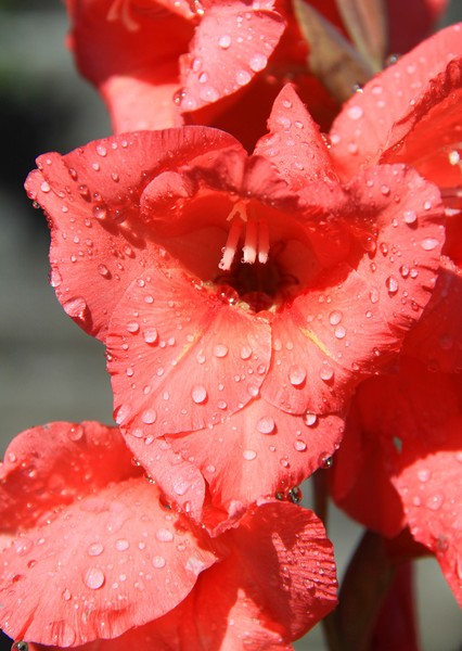 Flower   (Gladiola)