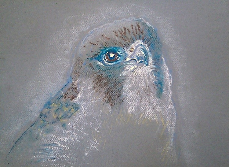 African Peregrine Falcon Drawing