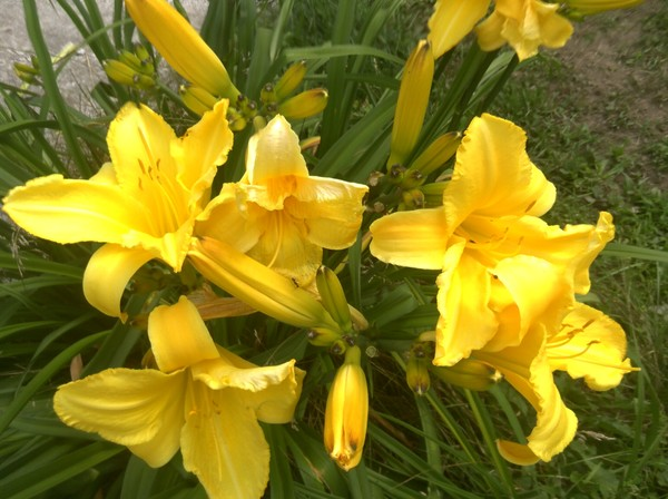 my day lillies
