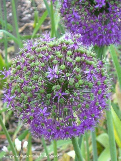 Purple Spiky Balls