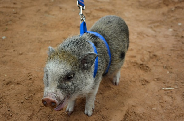 Micro Piggy