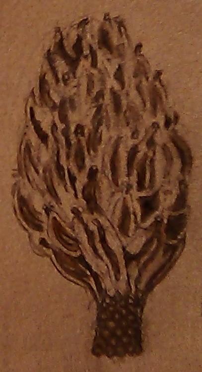 Dried Magnolia Seedpod Drawing
