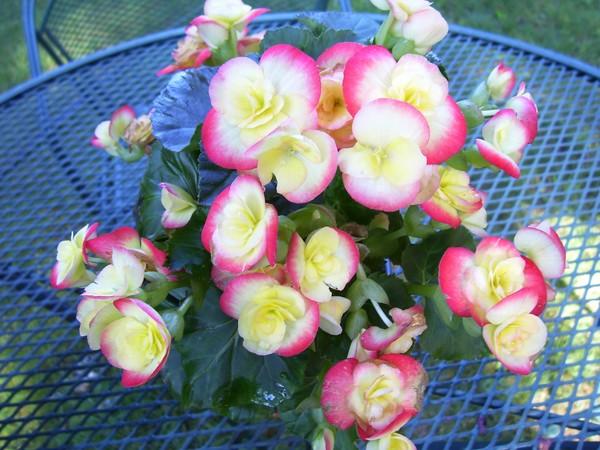 Begonias from my honey