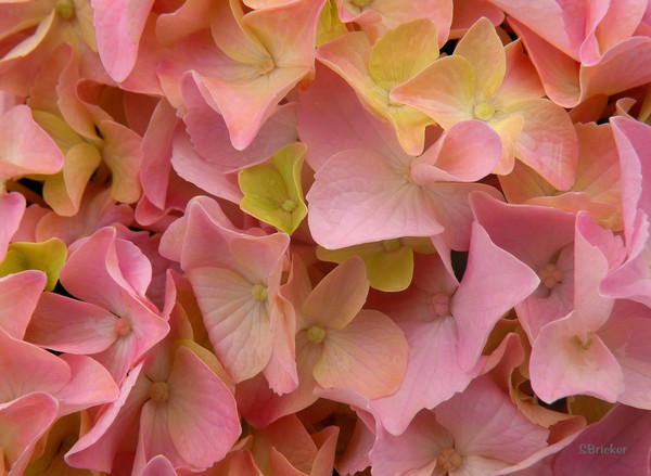 Into the Pink Hydrangea