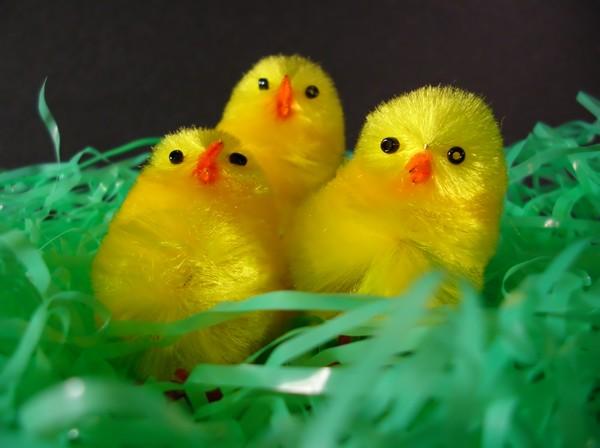 3 Chick Choir