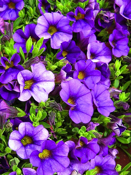 Purple Pageantry