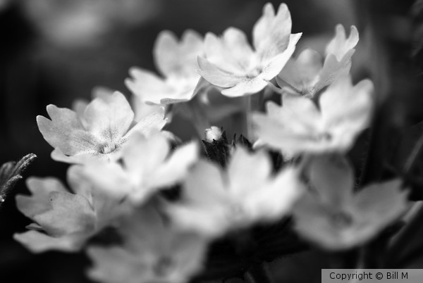 White Flowers in Black and White