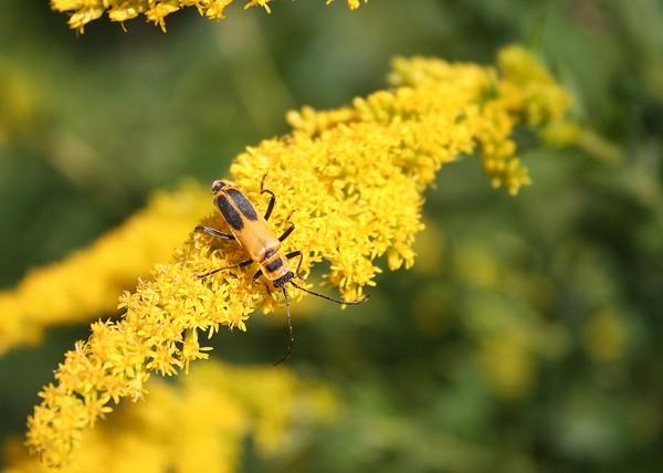 Golden Beetle on Goldenrod