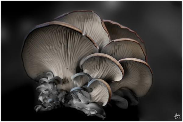 Painted Oyster Mushroom