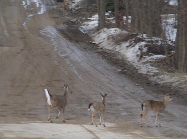 Deer Today