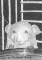 The Timid Rat - ACEO
