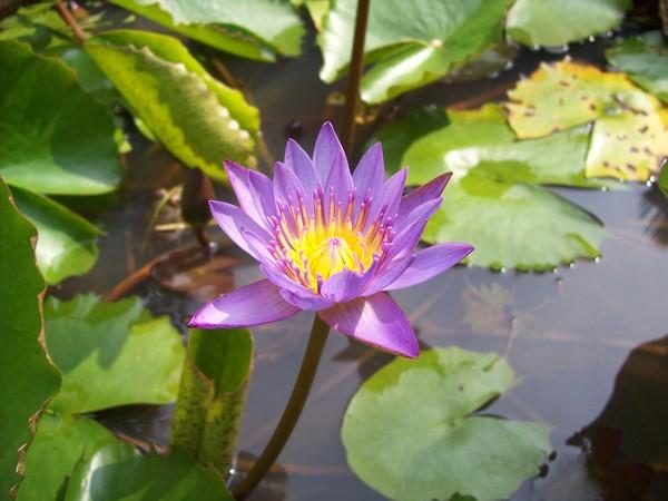 Sri Lankan National Flower