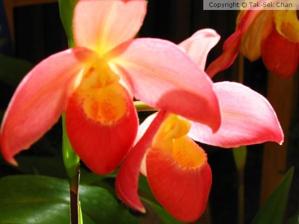 Slipper Orchid (Paphiopedilum Darling)