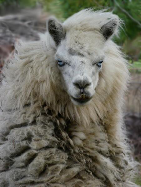 Tiko the Alpaca - Portrait
