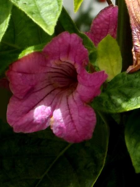 Purple Petunia In The Park (One)