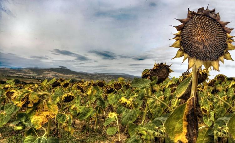 Sunflower in Auvergne