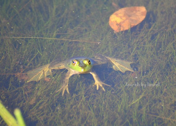 Froggie in the Water - Can You See My Feet?