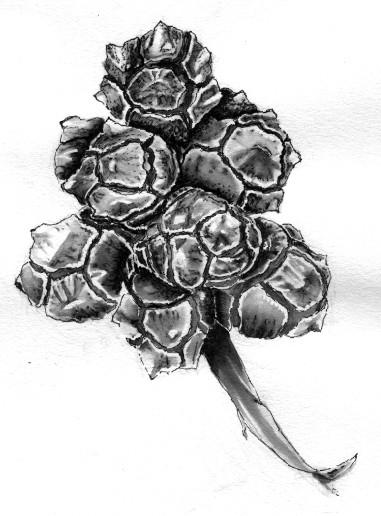 Cypress Seedpods Drawing