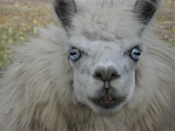 Tiko the Alpaca another portrait