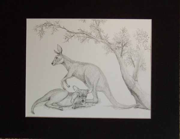 Red Kangaroos