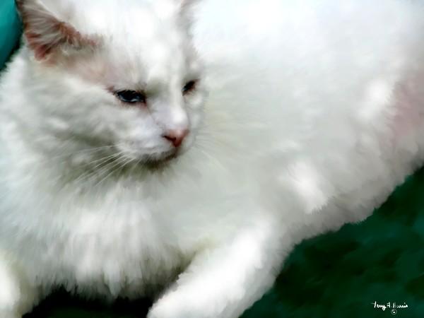 Regal  White Cat