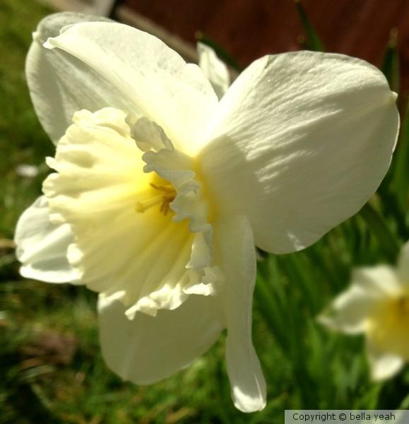 pale daffodil, bright sunlight