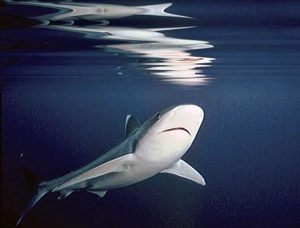 Oceanic Silvertip Shark