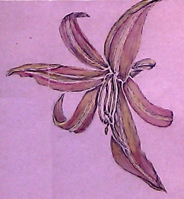 Day Lily Watercolor