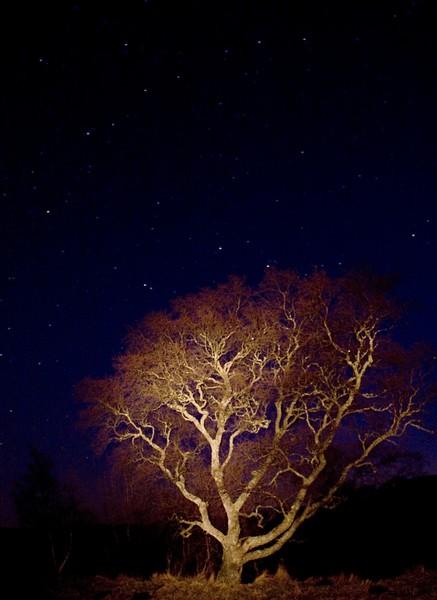 Birch Under the Stars