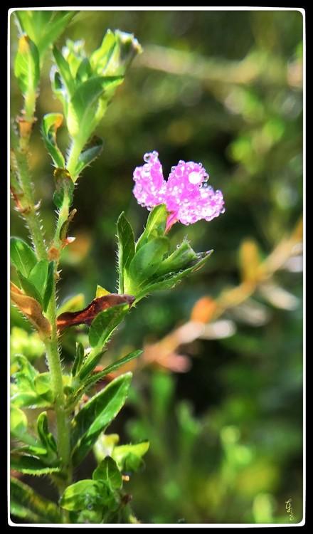 Dewdropped Flower