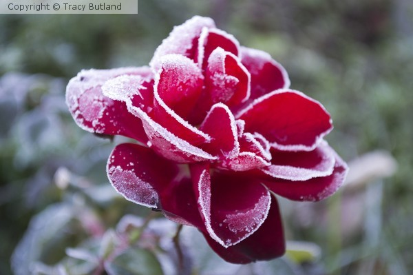 Frosty Red Rose