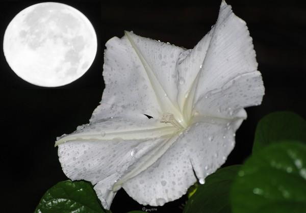 Super Moon Flower