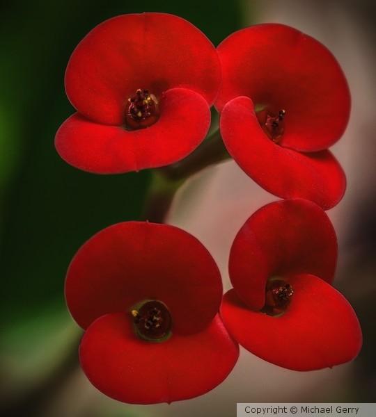 Crown of Thorns in Bloom