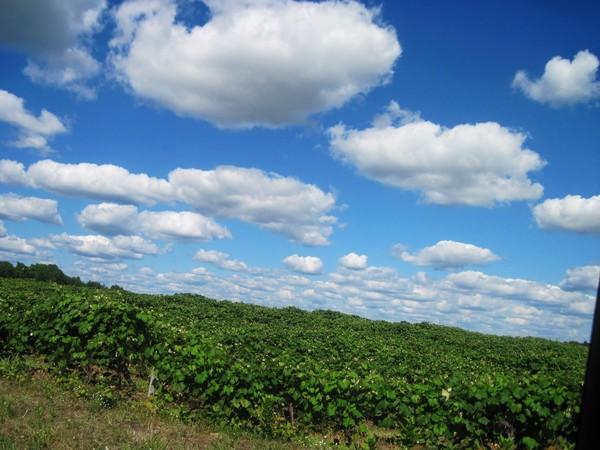 Le Vineyard
