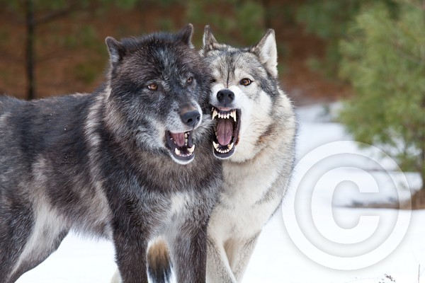 Wolf Jaws