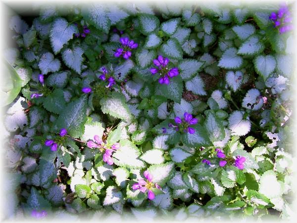 my perrenial garden,lamium