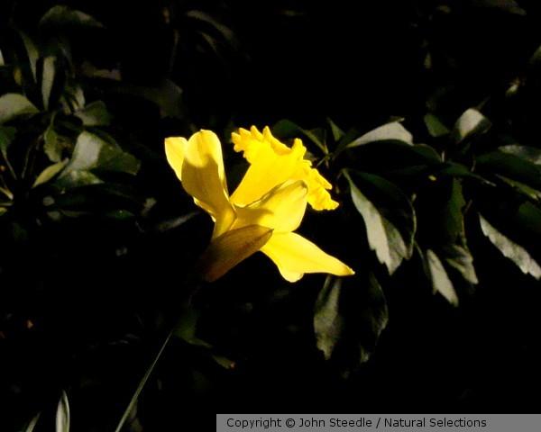 Narcissus Nocturnus 9873