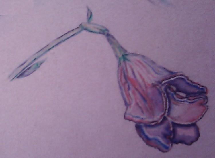 Kaffir Lily Watercolor