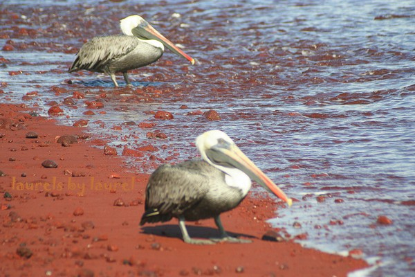 Brown Pelicans on a Red Beach