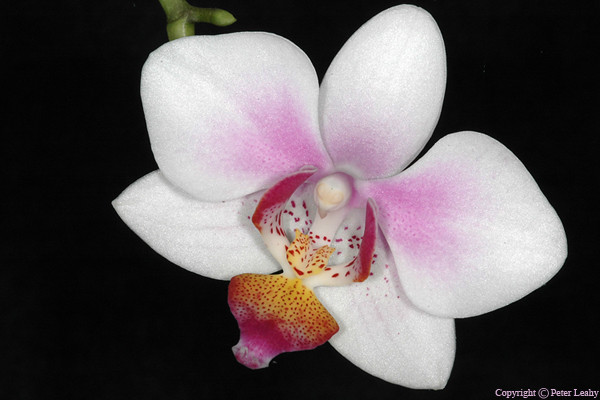 More Orchid