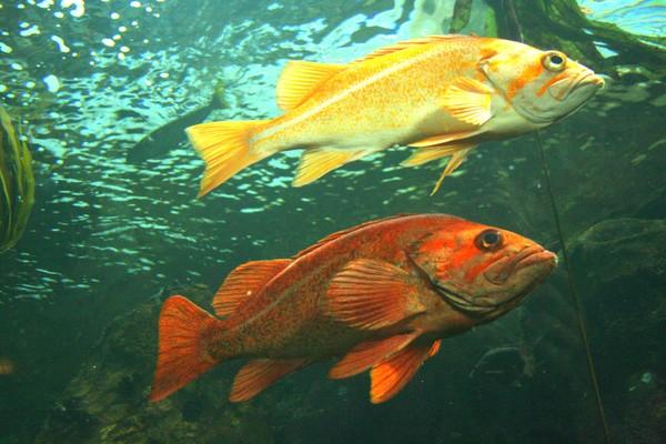 Rockfish: Swimming in Tandem