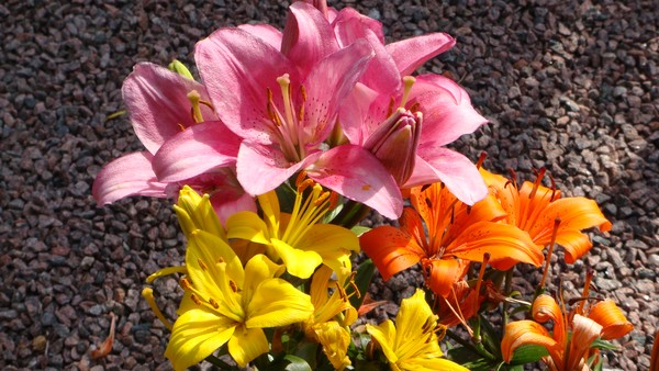 strongly scenting french lillys