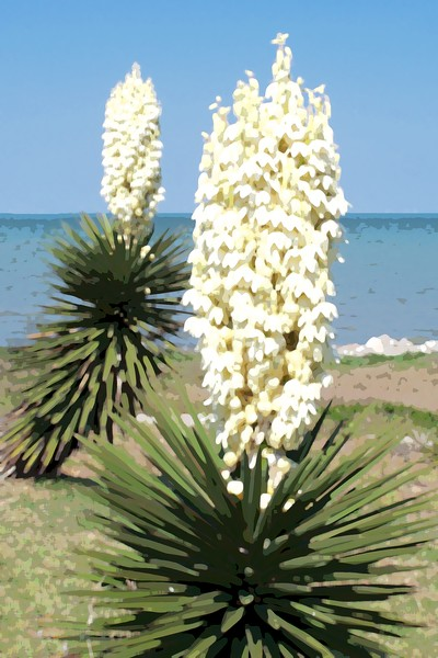 Yucca on Corpus Christi Bay