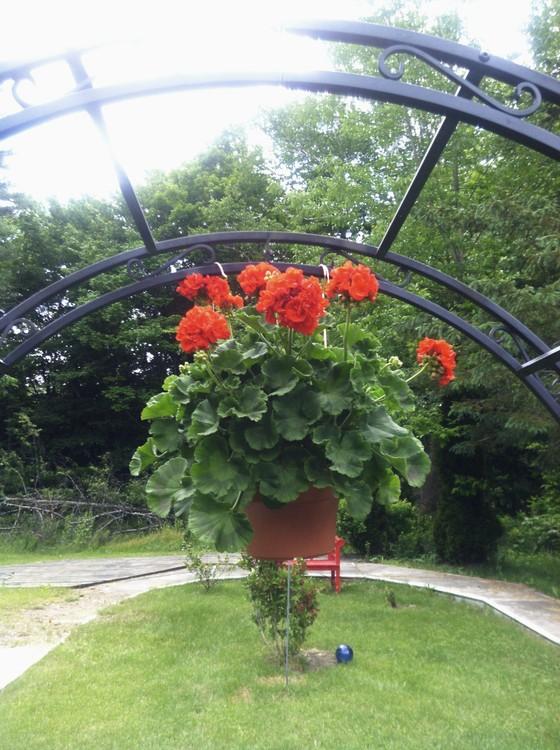 my hanging geranium