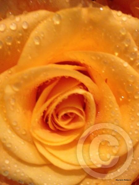 Yellow Rose Of Wonder