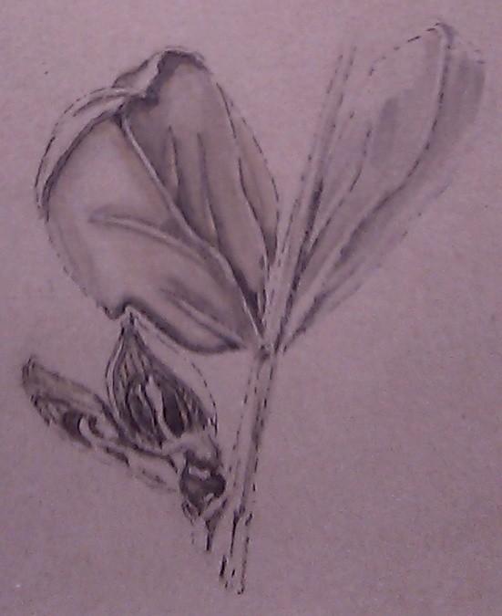 Windsor Fava Drawing