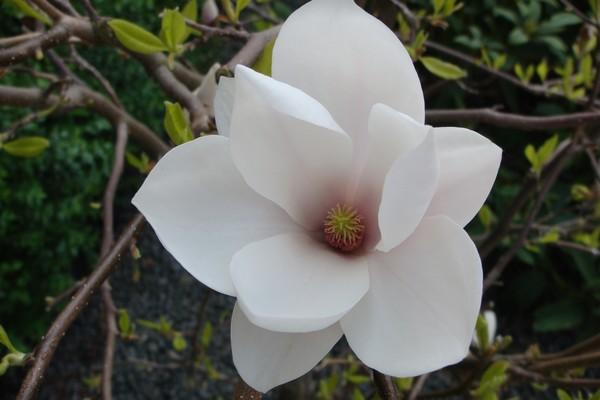 Tulipan Tree , Magnolie