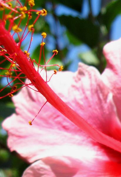 Pink Hibiscus Stamen
