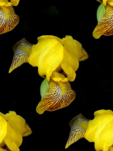 The Yellow Iris (Three)